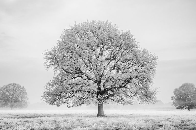 Black and white photo of a frost-covered tree in Bushy Park, Teddington, Greater London